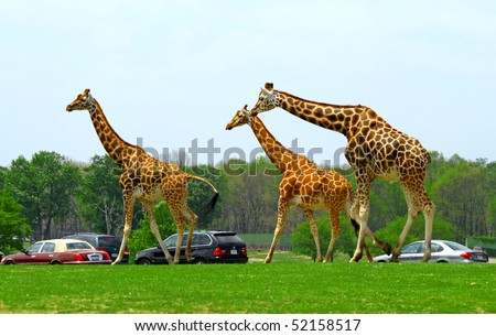 Giraffes in a man made safari in the United States - stock photo