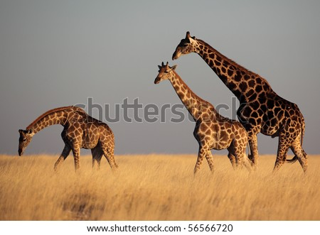 Giraffes in golden afternoon light, Etosha National Park, Namibia, SW Africa - stock photo