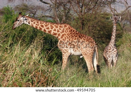 Giraffes in high grass of Serengeti NP - stock photo