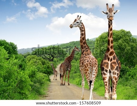 Giraffes in Kruger park South Africa  - stock photo