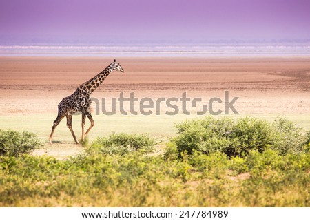 Giraffes in Lake Manyara national park, Tanzania  - stock photo