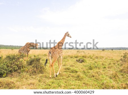 Giraffes in savannah. Eastern Africa