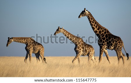 Giraffes in soft late-afternoon light - stock photo