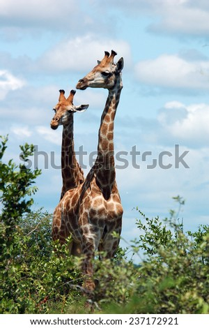 Giraffes in South Africa. - stock photo