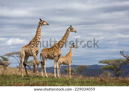 giraffes in south africa game reserve - stock photo