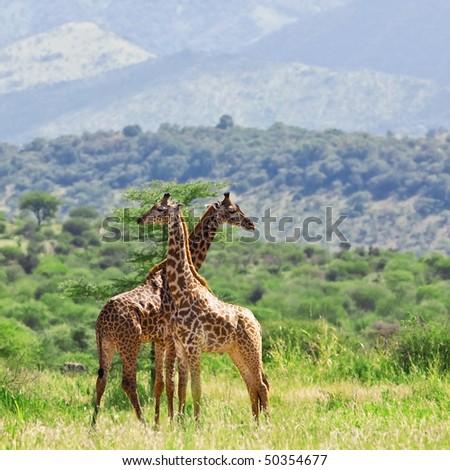 Giraffes in Tarangire National Park, Tanzania - stock photo