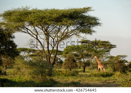 Giraffes in the african savanna