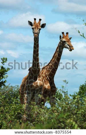 Giraffes in the bushveld of South Africa. - stock photo
