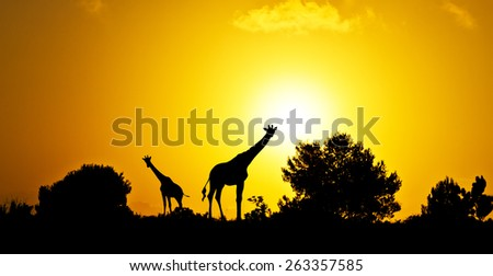 giraffes in the field