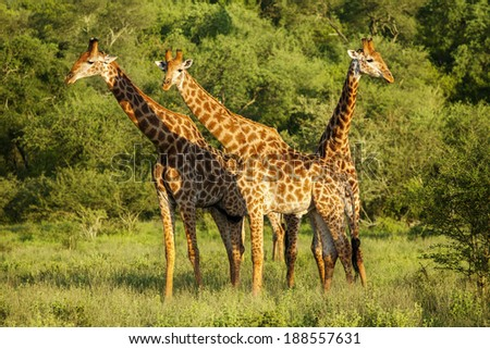 Giraffes in the Kruger Park, South Africa - stock photo
