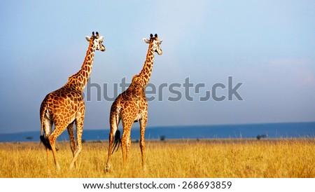 Giraffes in the Masai Mara National Reserve - Kenya, Africa - stock photo