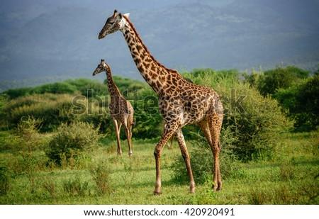 giraffes in the savanna - stock photo