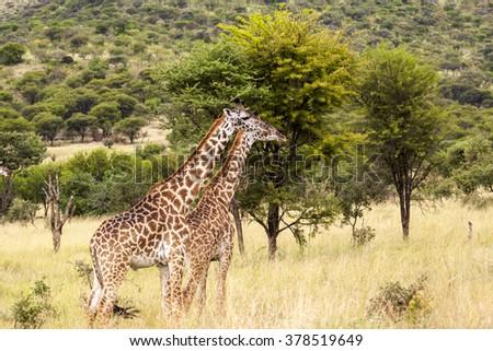 Giraffes in the Wild  Two giraffes wildlife animals together affections in their grassland habit wilderness reserve terrain. - stock photo