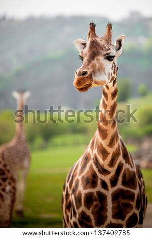 giraffes in the zoo safari park - stock photo