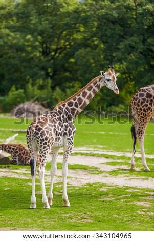 giraffes in the zoo safari park - stock photo