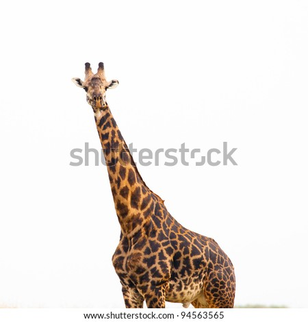giraffes isolated with white background
