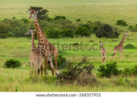 giraffes Maasai Mara National Park, Kenya, animal, wildlife, mammal, safari, uganda, camelopardalis, white - stock photo