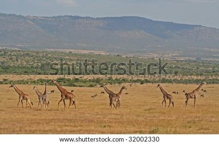 Giraffes Masai Mara Kenia, wildlife - stock photo