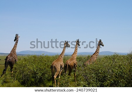 Giraffes - Masai Mara - Kenya - stock photo