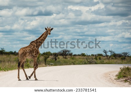 Giraffes, Namibia, Africa - stock photo