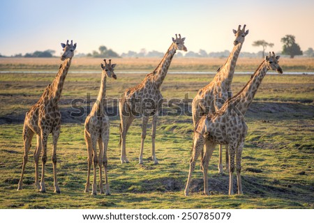 Giraffes on African savannah - stock photo