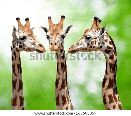 giraffes on natural green background  - stock photo