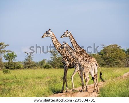 Giraffes on the savanna in Africa. - stock photo