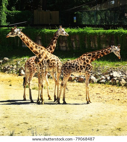 Giraffes on the walk