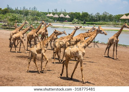 giraffes photographed in Safari World in Bangkok - stock photo