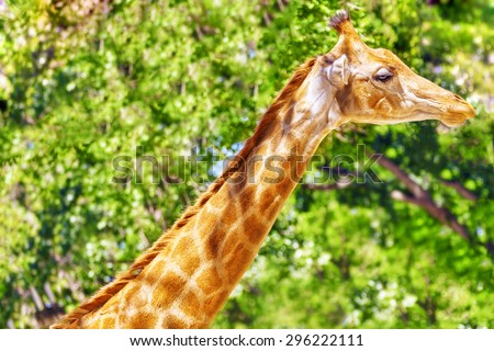 Giraffes their natural habitat. National Forest. - stock photo
