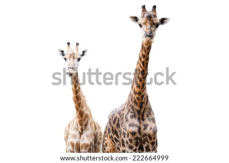 Giraffes, This one tongue out portrait. This Scientific Name is Giraffa camelopardalis