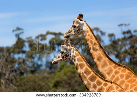 Giraffes Two Affections Wildlife Animals  - stock photo