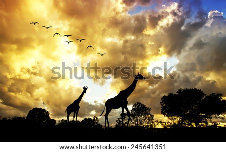 Giraffes under clouds - stock photo