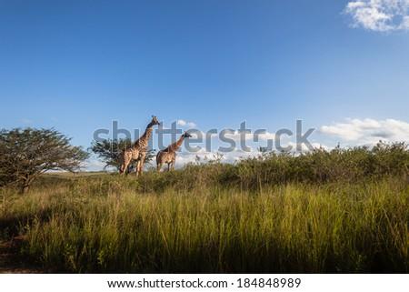 Giraffes Wildlife Landscape Giraffe animals in wildlife nature outdoor safari reserve park - stock photo