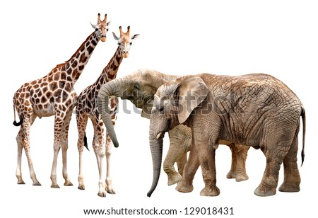 giraffes with elephants isolated on white - stock photo