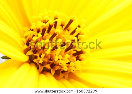 Girasol flower close up - stock photo