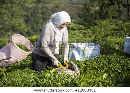 Giresun, Turkey - July 12, 2014: People tea gathering. The most efficient and the largest tea lands located in the Black Sea. The best tea in Turkey is the Black Sea