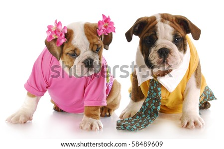girl and boy english bulldog puppies dressed up with reflection on white background - stock photo