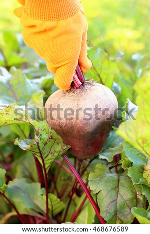 Girl collects in the garden beets in orange gloves