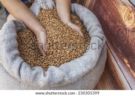 Girl takes two hands grain of wheat out of bag. - stock photo