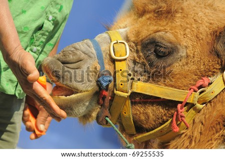 Giving Food to Camel - stock photo