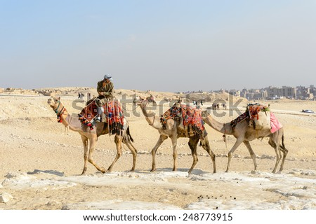 GIZA, EGYPT - NOV 23, 2014: Unidentified Egyptian man rides camels at Giza Necropolis, Egypt. UNESCO World Heritage - stock photo