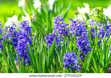 Glade blue hyacinth flower bed spring - stock photo