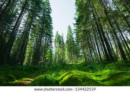 Glade moss among the evergreen fir trees. Photo taken at wide-angle lens. - stock photo