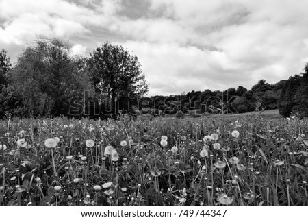 Glade Of Dandelions And Trees In Black White