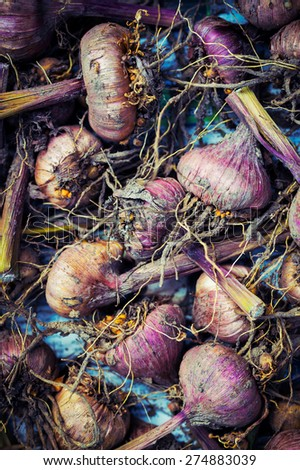 Gladiola bulbs ready for planting - stock photo