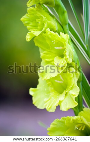 Gladioli flowers on green meadow background - stock photo