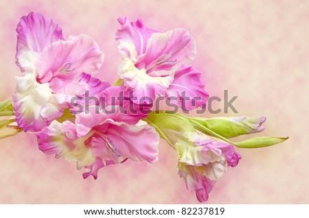 Gladiolus - stock photo