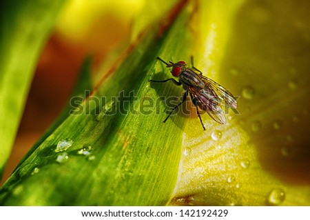 Gladiolus blossom with raindrops and  house fly,  Musca domestica, flower garden, Webster County, West Virginia, USA - stock photo