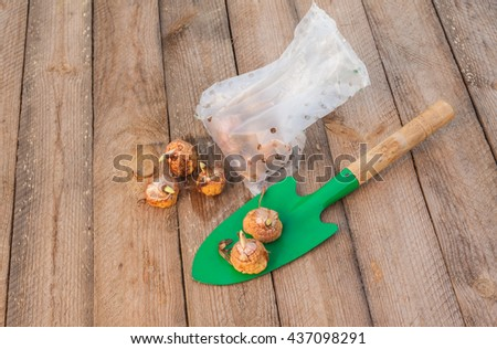 Gladiolus bulbs before planting and garden shovel on a wooden table - stock photo